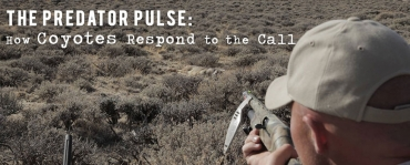 How Coyotes Respond to the Call