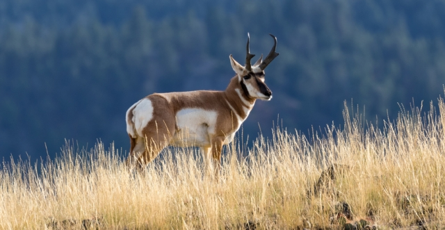 Wyoming Pronghorns: The One Shot Antelope Hunt