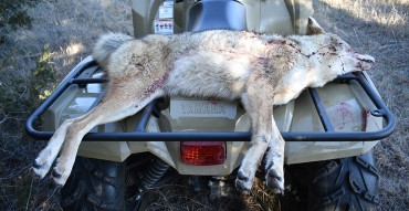 Killing Coyotes Consistently