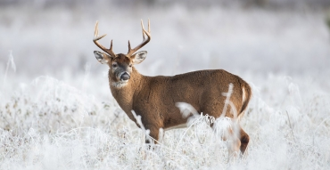 Aging Whitetails on the Hoof