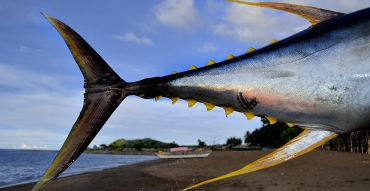 Yellowfin Tuna Fishing with VooDoo Fishing Charters